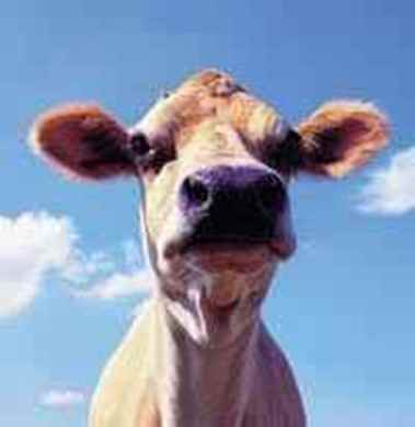 Picture for category Bovine