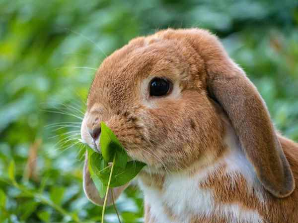 Picture for category Rabbit & Rodent Diets