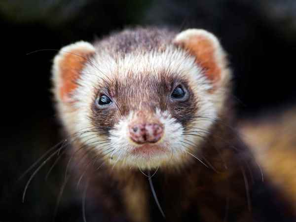 Picture for category Ferret