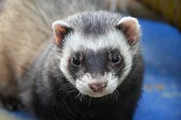 Picture for category Ferret Products