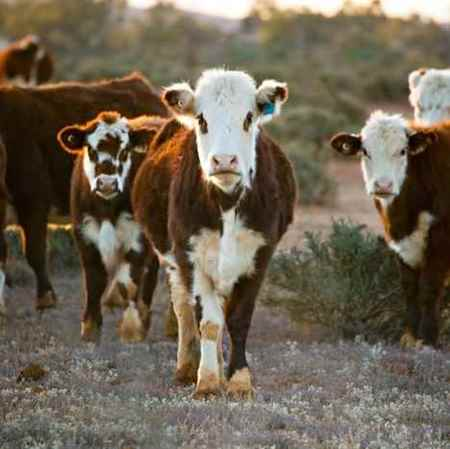 Picture for category Bovine Products