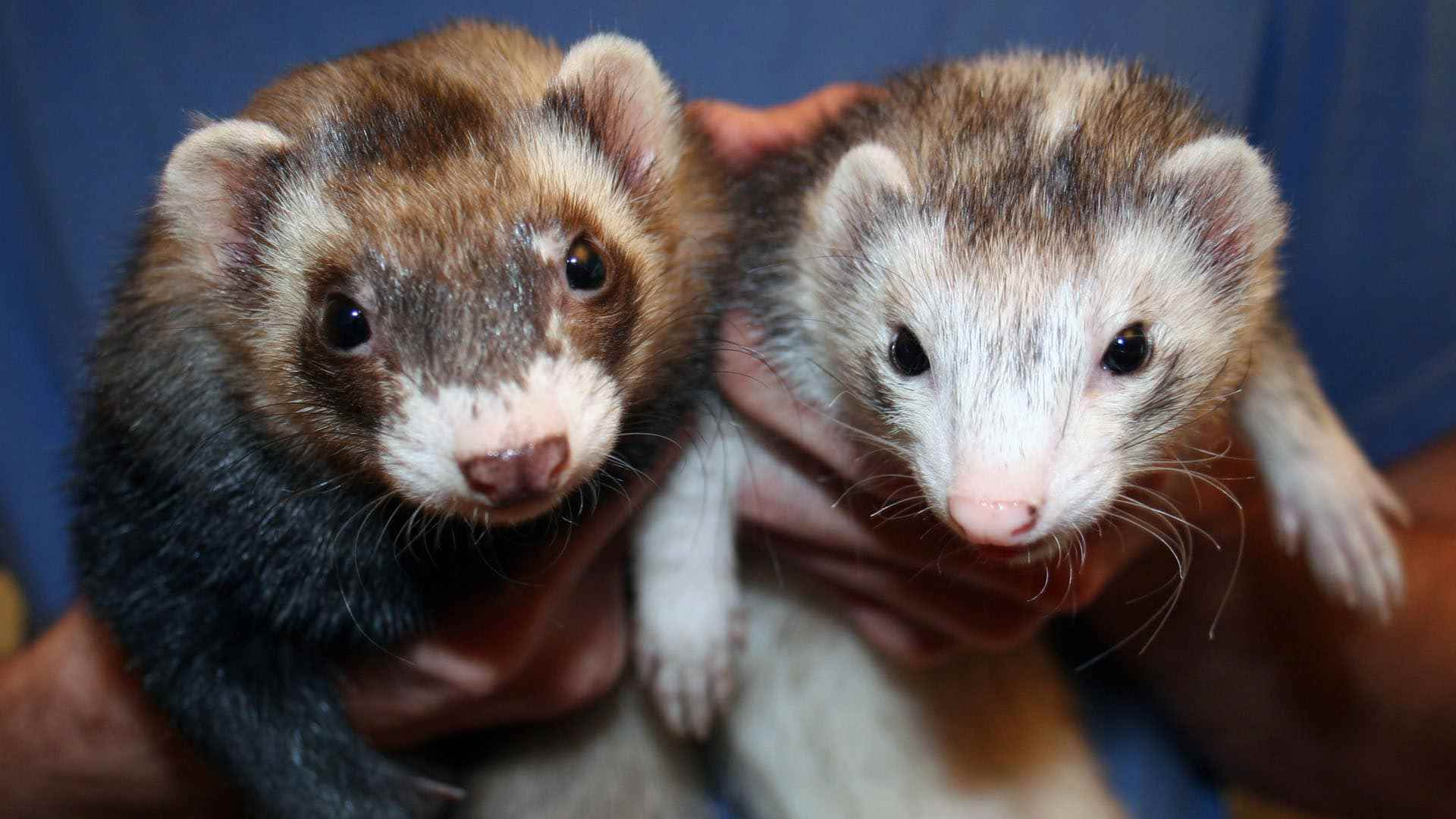 Picture for category Ferret Diets
